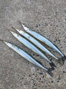【2021年4月30日】りんくう釣り護岸にサヨリを釣りに行ってきました